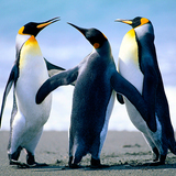 5587330885_penguins-jpg%7d