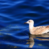Http-img-fotocommunity-com-birds-waterbirds-swimming-in-the-deep-blue-sea-a18613481-jpg